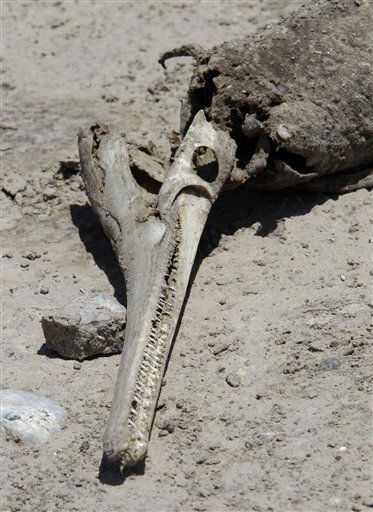 The skeletal remains of an alligator gar is seen on the dried out lake bed of O.C. Fisher Lake Wednesday, Aug. 3, 2011, in San Angelo, Texas. According to state park officials, long periods of 100 degree plus days and lack of rain in the drought-stricken region over the past few years has nearly dried out the man made reservoir that once spanned over 5400 acres. &#40;AP Photo&#47;Tony Gutierrez&#41; <span class=meta>(AP Photo&#47; Tony Gutierrez)</span>