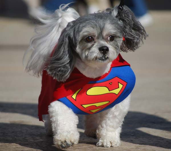 "<div class=""meta ""><span class=""caption-text "">Dogs donned their best costumes Saturday for the Howl-O-Ween Dog Walk & Expo at La Centerra in Katy.  ABC-13's Casey Curry and Miya Shay served as judges for the annual event! (Photo/ABC-13)</span></div>"