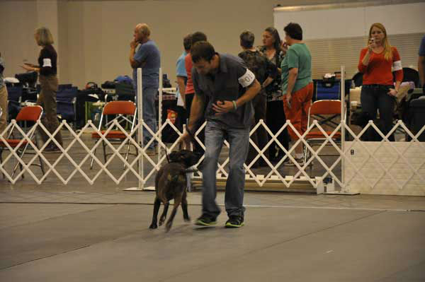 "<div class=""meta ""><span class=""caption-text "">Houston's 36th annual Reliant Park World Series of Dog Shows July 17-21, 2013, was a canine extravaganza featuring breed judging, obedience and agility competitions, performances, races, shopping, adoptions and more.  (KTRK Photo/ Kristy Gillentine)</span></div>"