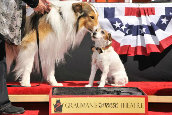 Uggie, the 10-year-old Jack Russell terrier who starred in 'The Artist,' was honored with a retirement party and a paw print ceremony at Grauman's Chinese Theatre on June 25, 2012. Lassie and Rin Tin Tin showed up for moral support. <br /><br />'The Artis