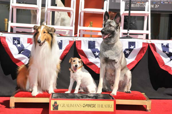 Uggie, the 10-year-old Jack Russell terrier who starred in &#39;The Artist,&#39; was honored with a retirement party and a paw print ceremony at Grauman&#39;s Chinese Theatre on June 25, 2012. Lassie and Rin Tin Tin showed up for moral support.  &#39;The Artist&#39; will be released on Blu-ray and DVD on June 26. <span class=meta>(Photo&#47;Robert Freeman)</span>
