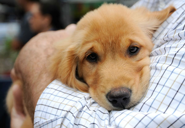 A few golden retriever puppies visited the set of 'Good Morning America' on June 17, 2013, to help promote the show's 'Dog vs. Dog' contest.