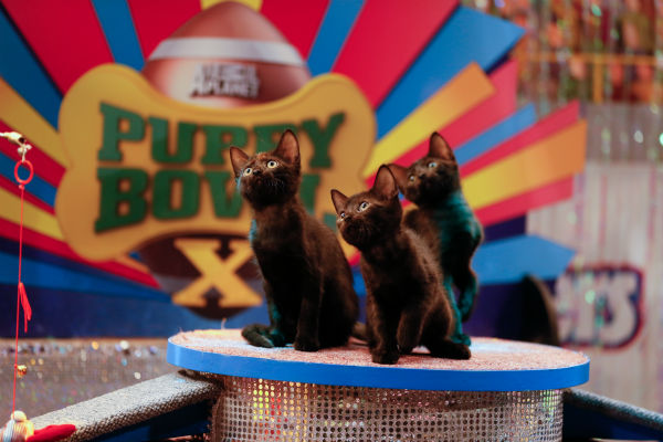 Kittens play during the Kitty Halftime Show at Puppy Bowl X, which airs on Animal Planet on Feb. 2 at 3 p.m. ET. The NFL Super Bowl XLVIII starts officially at 3:30 p.m. ET. <span class=meta>(Animal Planet &#47; Damian Strohmeyer)</span>