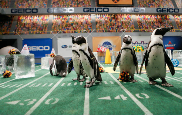 The penguin cheerleaders entertain the crowd during Puppy Bowl X, which airs on Animal Planet on Feb. 2 at 3 p.m. ET. The NFL Super Bowl XLVIII starts officially at 3:30 p.m. ET. <span class=meta>(Animal Planet &#47; Damian Strohmeyer)</span>