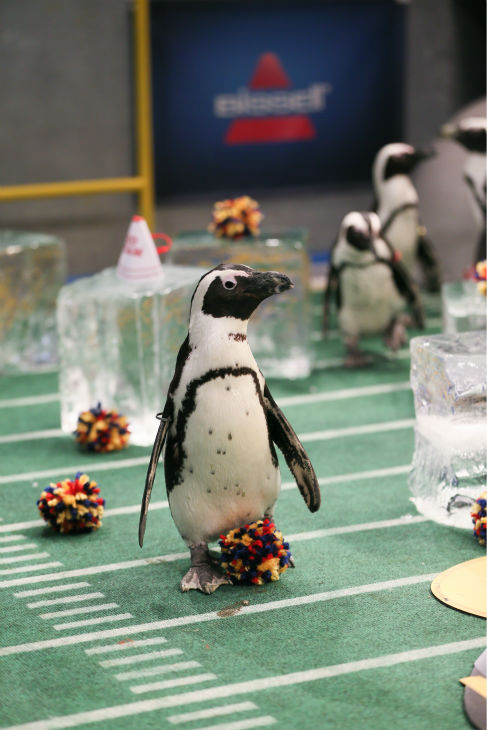 "<div class=""meta ""><span class=""caption-text "">The penguin cheerleaders entertain the crowd during Puppy Bowl X, which airs on Animal Planet on Feb. 2 at 3 p.m. ET. The NFL Super Bowl XLVIII starts officially at 3:30 p.m. ET. (Animal Planet / Damian Strohmeyer)</span></div>"