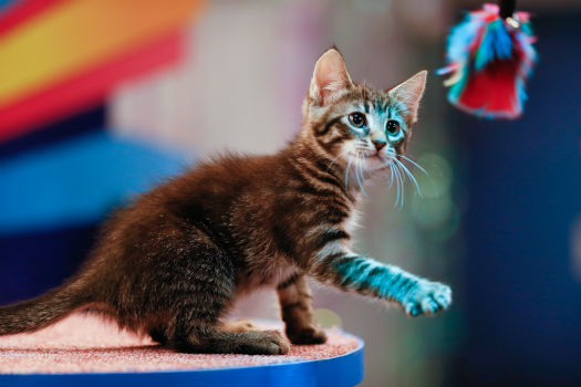 A kitten plays during the Kitty Halftime Show at Puppy Bowl X, which airs on Animal Planet on Feb. 2 at 3 p.m. ET. The NFL Super Bowl XLVIII stars officially at 3:30 p.m. ET. <span class=meta>(Animal Planet &#47; Damian Strohmeyer)</span>