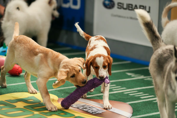 "<div class=""meta ""><span class=""caption-text "">Puppies play during Puppy Bowl X, which airs on Animal Planet on Feb. 2 at 3 p.m. ET. The NFL Super Bowl XLVIII starts officially at 3:30 p.m. ET. (Animal Planet / Damian Strohmeyer)</span></div>"
