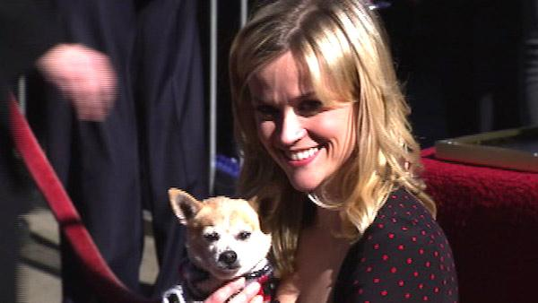 Reese Witherspoon appears with Bruiser, the 'Legally Blonde' Chihuahua, as she get a star on Hollywood's Walk of Fame.