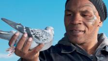Mike Tyson holds a pigeon in a promotional photo for his 2011 show Taking on Tyson. - Provided courtesy of Discovery Communications