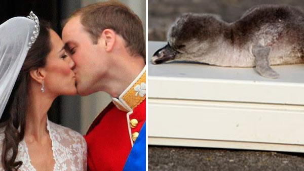 Britains Prince William kisses his wife Kate on the balcony of Buckingham Palace after the Royal Wedding in London Friday, April, 29, 2011. / Acorn, the penguin adopted by the royal couple, lies on a scale. - Provided courtesy of AP / Matt Dunham / Chester Zoo