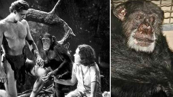 Johnny Weissmuller appears as Tarzan, Maureen OSullivan as Jane and Cheetah as himself in a scene from the 1932 movie Tarzan the Ape Man. / Cheetah appears in an undated photo posted on the website of the Suncoast Primate Sanctuary. - Provided courtesy of Metro-Goldwyn-Mayer (MGM) / suncoastprimate.homestead.com