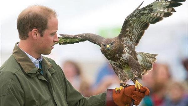Prince William, Duke of Cambridge, holds a Harris Hawk during a falconry demonstration with birds of prey at the Anglesey agricultural show at Anglesey Showground in Bangor, Wales on Aug. 14, 2013. - Provided courtesy of Barcroft Media / startraksphoto.com