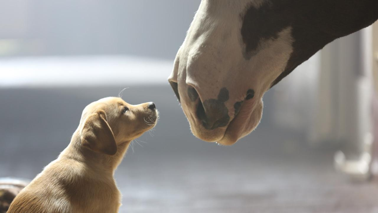 A puppy and a horse appear in Budweisers 2014 ad Puppy Love, which aired during Super Bowl XLVIII on Feb. 2, 2014.