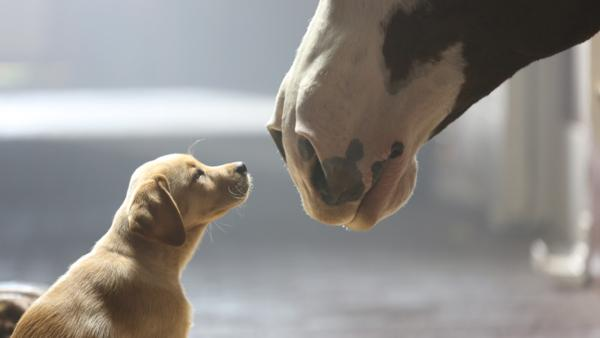 A puppy and a horse appear in Budweisers 2014 ad Puppy Love, which aired during Super Bowl XLVIII on Feb. 2, 2014. - Provided courtesy of Anheuser-Busch