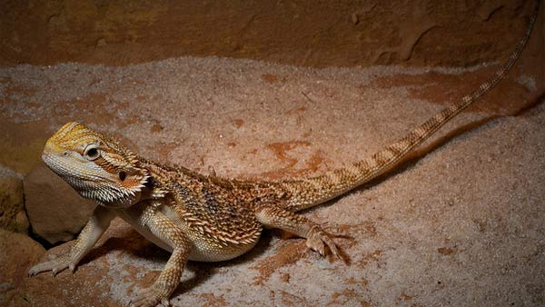 Leonardo DiCaprio has had many pets, including dogs, drogs and a bearded dragon lizard called Blizzard, or Blizz for short.&#40;Pictured: A photo of a bearded dragon, not Leonardo DiCaprio&#39;s.&#41;  <span class=meta>(flickr.com&#47;photos&#47;qmmr)</span>