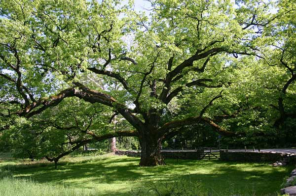 Rooney Mara, born Patricia Rooney Mara, was born on April 17, 1985 in Bedford, New York.&#40;Pictured: A photo of the Bedford Oak, a tree that is more than 300 years old and is one of the town&#39;s landmarks.&#41; <span class=meta>(flickr.com&#47;photos&#47;sonjalovas&#47;)</span>