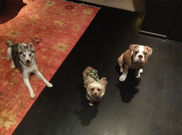 From left: Miley Cyrus' dogs Floyd, Lila and Ziggy are shown in this photo the singer and actress posted on her Twitter page on March 20, 2012.