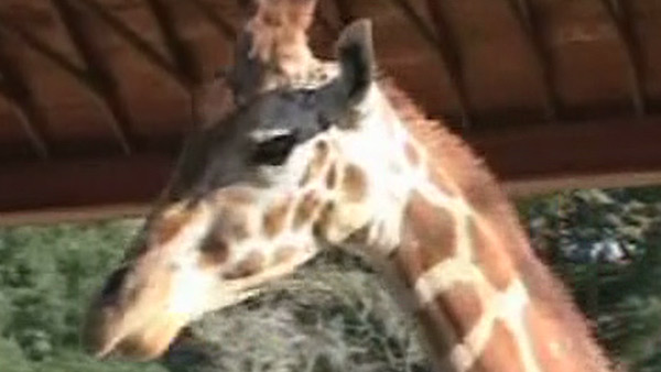 A giraffe is seen in this scene from a home video of Michael Jackson&#39;s Neverland Ranch. The clip was played during his wrongful death trial in Los Angeles on June 26, 2013. His family is suing concert promoter AEG Live. <span class=meta>(OTRC &#47; Official trial exhibit - Los Angeles Superior Court)</span>