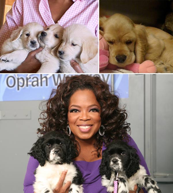 Animal lover and activist Oprah Winfrey loves her pets and often brings them on her show or features them in her magazine.  She has two Golden Retrievers, Luke and Layla, a cocker spaniel named Sadie and two new additions this year - Springer Spaniels Lauren and Sunny. Sadly, Winfrey lost three dogs in three consecutive years.  Luke and Layla&#39;s sister, Gracie, died in 2007 after choking on a plastic ball.  In 2008, Winfrey&#39;s beloved Cocker Spaniel, Sophie, passed away and in 2009, Sadie and her brother Ivan came down with a deadly parvovirus.  Unfortunately, Ivan did not make it. Pictured: &#40;top left&#41; Luke, Layla and Gracie, &#40;top right&#41; Sadie and &#40;bottom&#41; Winfrey with Lauren and Sunny.  <span class=meta>(Harpo Productions &#47; O Magazine&#47;Alexis Newman)</span>