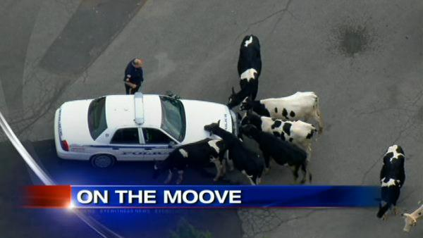 VIDEO: Cows on the moove in NJ