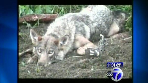 Rye coyote attacks calls for city meeting