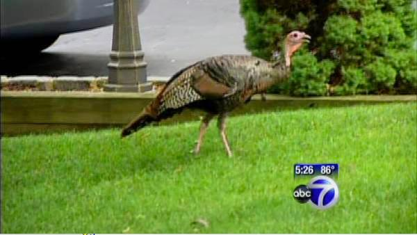 Wild Turkey causing stir in NJ