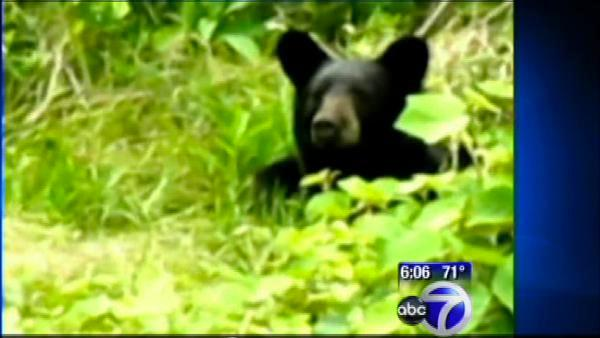 Bear rummaging through Englewood, NJ