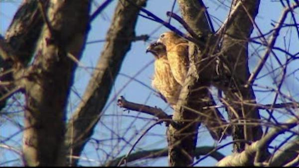 Hawk attacks at Connecticut high school