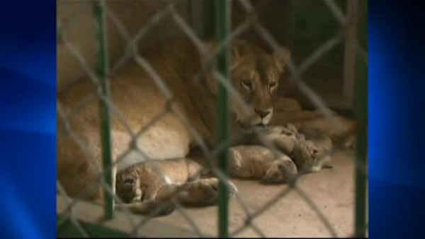 China zoo welcomes six lion cubs