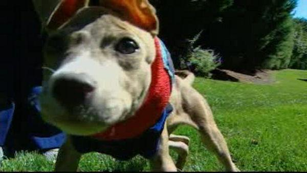 Pit bull recovering after toss from window