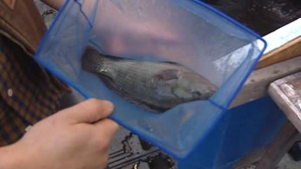 Fish farmers breed on top of Brooklyn rooftop