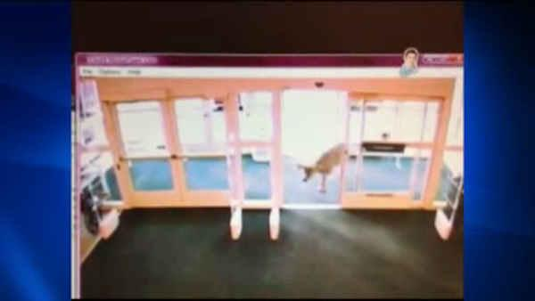 Deer use automatic door to get into Kohl's