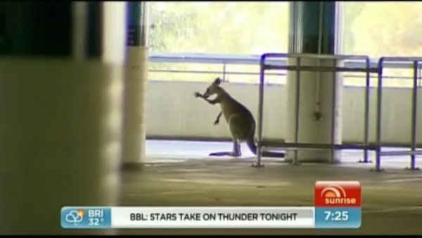 Kangaroo gets loose in Australia airport parking lot