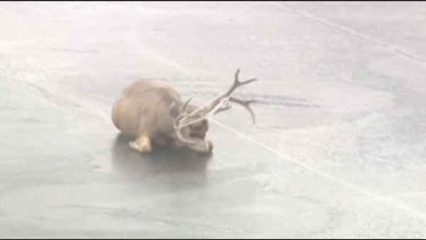 Dramatic deer rescue caught on tape