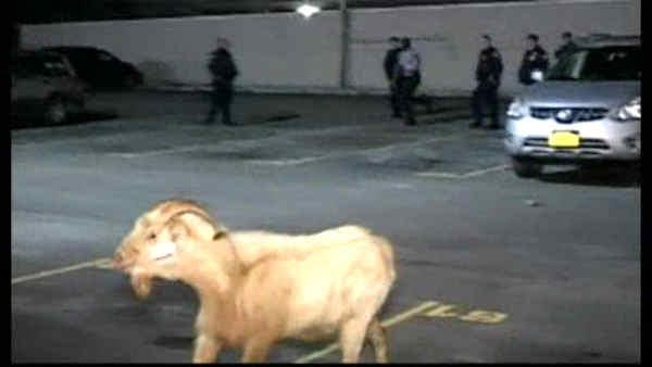 Goat gets loose in Brooklyn hospital parking lot