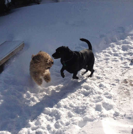 Skipper and Angel play in the snow in North Bellmore.