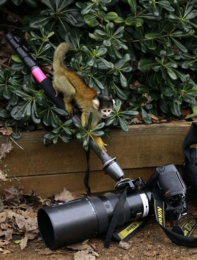 A squirrel monkey climbs on the monopod of a photographer&#39;s resting camera during a photo-call media event to mark the annual stock-take at London Zoo in London, Tuesday, Jan. 4, 2011.  The zoo, which houses over 700 species of animals, is required to carry out the annual head count of all their animals as part of their zoo license.  &#40;AP Photo&#47;Matt Dunham&#41; <span class=meta>(AP Photo&#47; Matt Dunham)</span>