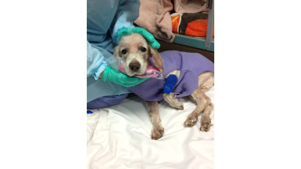 "<div class=""meta ""><span class=""caption-text "">The severely neglected ""Sammy"" Samurai the Cocker Spaniel is recovering in New Jersey. (WABC Photo/ Phil Lipof)</span></div>"