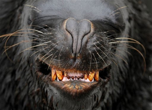 &#34;Leo,&#34; an eight-year-old male South American Sea Lion, makes a facial expression during a training at the Hakkeijima Sea Paradise aquarium and amusement park in Yokohama, southwest of Tokyo, Japan, Sunday, May 29, 2011. &#40;AP Photo&#47;Itsuo Inouye&#41; <span class=meta>(AP Photo&#47; Itsuo Inouye)</span>