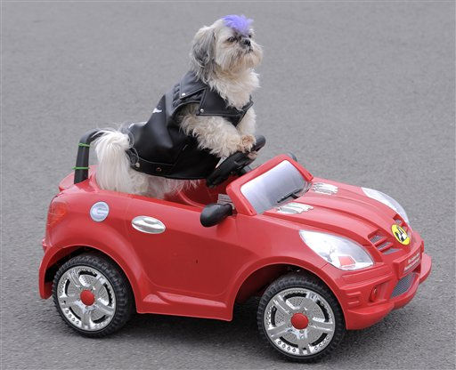 Shih Tzu dog &#39;Panhou&#39; styled as a punk drives a remote-controlled electric car during the international dog exhibition in Erfurt, central Germany, on Saturday, June 18, 2011. 4,000 dogs of 250 breeds from 15 countries take part at the exhibition and will be examined by experts this weekend. &#40;AP Photo&#47;Jens Meyer&#41; <span class=meta>(AP Photo&#47; Jens Meyer)</span>