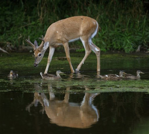 A white-tailed deer buck and mallard ducks move through shallow water in the Greater Fouty-Rutkowski Pond at dusk Friday, Aug. 12, 2011, in East Lansing, Mich. &#40;AP Photo&#47;Al Goldis&#41; <span class=meta>(AP Photo&#47; Al Goldis)</span>