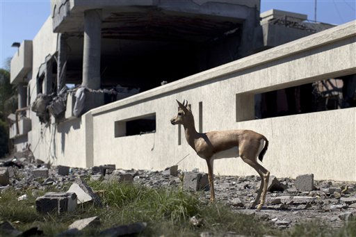 In this photo taken on a government-organized tour, a gazelle stands in front of a bomb damaged residence in Tripoli, Libya, Friday, Aug. 19, 2011. Several  explosions shook the capital early Friday as NATO jets were heard circling overhead. &#40;AP Photo&#47;Dario Lopez-Mills&#41; <span class=meta>(AP Photo&#47; Dario Lopez-Mills)</span>