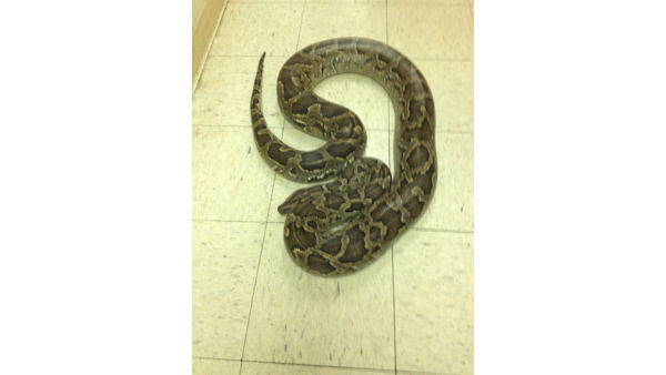 A 12-foot python was found near a Burger King in Paterson, New Jersey on Tuesday morning. <span class=meta>(WABC Photo&#47; Paterson Animal Control)</span>