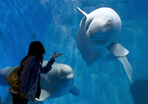 A visitor poses in front of a beluga swimming inside an aquarium at the Laohutan Ocean Park in Dalian, in northeast China&#39;s Liaoning province, Saturday, Sept. 17, 2011. &#40;AP Photo&#47;Andy Wong&#41; <span class=meta>(AP Photo&#47; Andy Wong)</span>