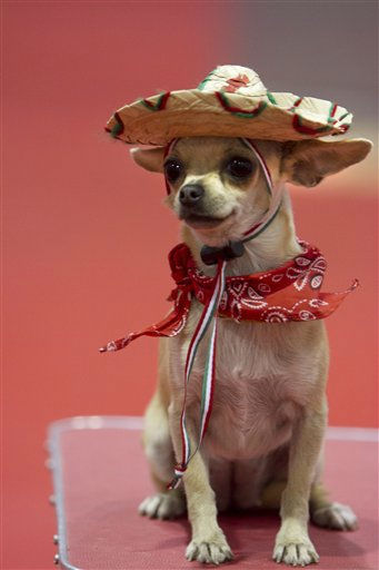 "<div class=""meta ""><span class=""caption-text "">Chinoe, a Chihuahua dressed in Mexico's national colors, sits during the annual Expo-Can 2011 International Dog Competition in Mexico City, Saturday Sept. 17, 2011. (AP Photo/ Raquel Cunha) (AP Photo/ Raquel Cunha)</span></div>"