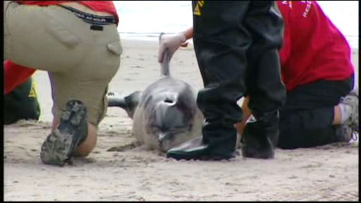 A small dolphin apparently beached itself on Rockaway Beach in Queens on Friday morning. NYPD officers rushed to the washed-up dolphin near Beach 19th Street.  <span class=meta>(WABC Photo)</span>