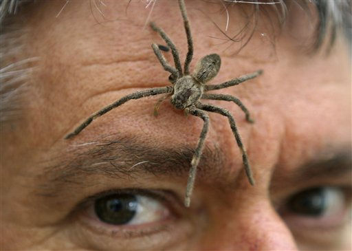 "<div class=""meta image-caption""><div class=""origin-logo origin-image ""><span></span></div><span class=""caption-text"">Museum curator Donald McCullum poses with a rain spider on his face Tuesday Oct. 5, 2010 ahead of the Yebo Gogga exhibition which will open at the Universirty of the Witwatersrand on Wednesday. The five-day exhibition attracts exhibition goers with displays of insects, reptiles , amphibians, trees, mammals, plants, wildlife, water and energy conservation. (AP Photo/Denis Farrell) (AP Photo/ DENIS FARRELL)</span></div>"