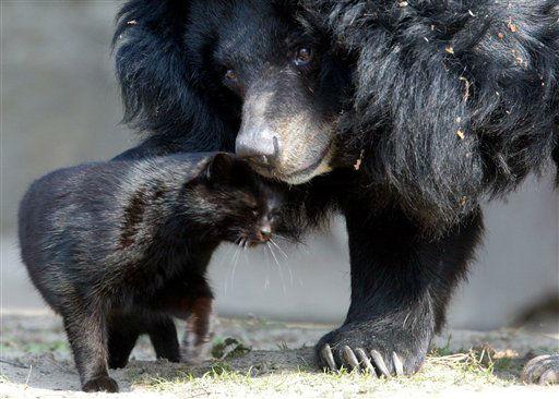 """<div class=""""meta """"><span class=""""caption-text """">Female Asiatic black bear """"Maeuschen"""", right, and black cat """"Muschi"""" snuggle on Friday, April 11, 2003 at the Zoo in Berlin, Germany. (AP Photo/Johannes Eisele/ddp) --- Kragenbaerin Maeuschen und die schwarze Katze Muschi spielen am Freitag (11.04.03) im Berliner Zoo miteinander. Der asiatische Grossbaer hat sich anscheinend mit der Katze angefreundet. Foto: Johannes Eisele/ddp (AP Photo/ Johannes Eisele)</span></div>"""