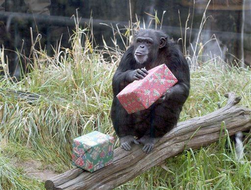 In this undated photo provided by the Oregon Zoo shows, Chloe the Chimpanzee at the Oregon Zoo with gifts during Presents For Primates, in Portland, Ore. Presents for Primates is part of the zoo?s internationally renowned enrichment program, designed to encourage behaviors such as hunting and foraging. &#40;AP Photo&#47;Oregon Zoo, Carli Davidson&#41; <span class=meta>(AP Photo&#47; Carli Davidson)</span>
