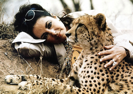 British actress Elizabeth Taylor visits the Kruger Park game reserve, just prior to her re-marriage to Richard Burton in Botswana, Africa, Oct. 1975. Taylor is seen here with &#39;Taga&#39;, a young orphaned cheetah who was nursed backed to health by rangers at the reserve. &#40;AP Photo&#41; <span class=meta>(AP Photo&#47; XKR)</span>